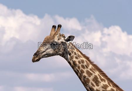 giraffe neck and head chobe national