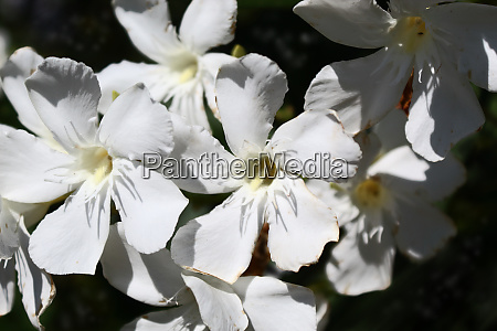 oleander nerium blume hintergrund blumen garten