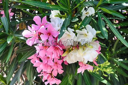 rosa und weiss oleander oder nerium