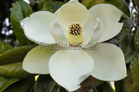 magnolia flower magnolia grandiflora