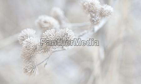 zarte trockenpflanze mit hoarfrost