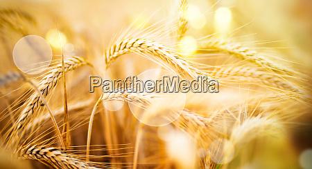 cornfield im sommer mit sonnenschein
