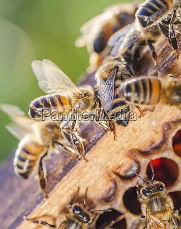 honigbienen auf waben in der imkerei