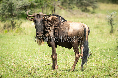 blue wildebeest missing horn stands watching