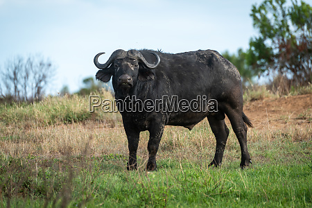 cape buffalo stands on grass watching