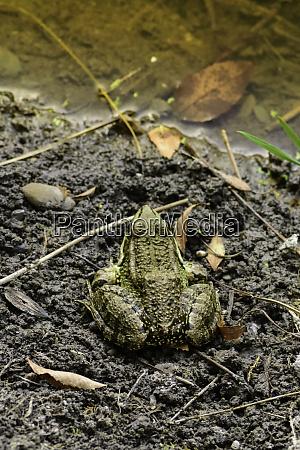 gemeiner frosch von sardinien in den