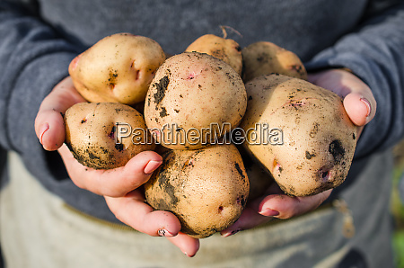 harvest ecological potatoes in in farmers