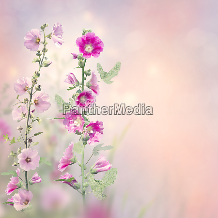 hollyhock flowers blooming in the garden