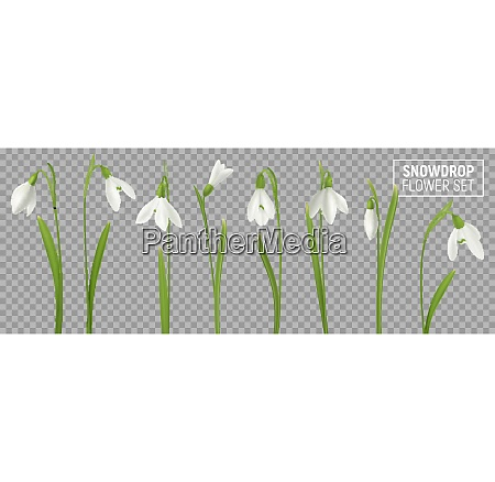 realistic snowdrop flower set on transparent