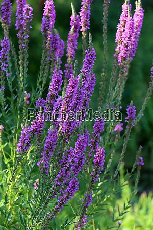 flowering blood pasture lythrum salicaria