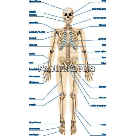 realistisches menschliches skelettsystem mit knochenbeschriftungen infografiken