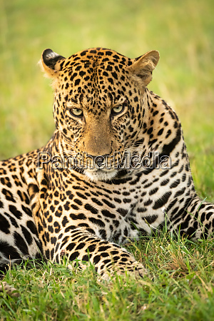 close up of male leopard lying