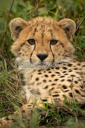 close up of cheetah cub staring