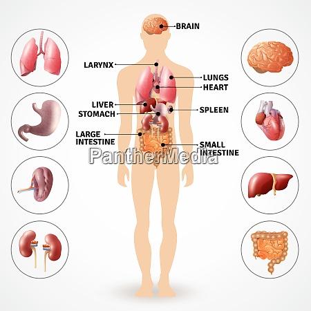 medizinisches poster zeigt menschliche anatomie innere