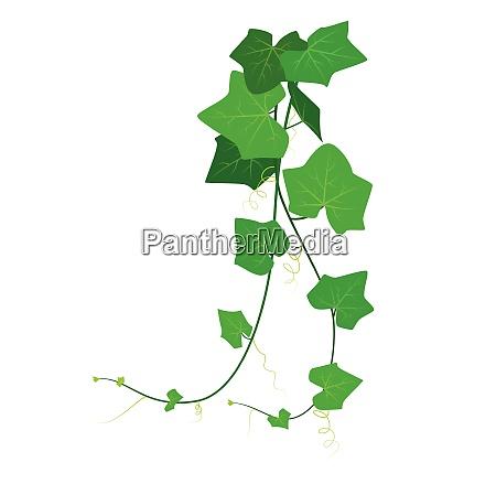 vector illustration of coccinia grandis or