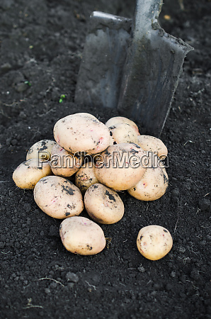 harvest ecological potatoes freshly taken from