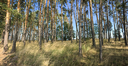 splendid pine forest panoramic image