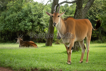 common eland stands near another watching
