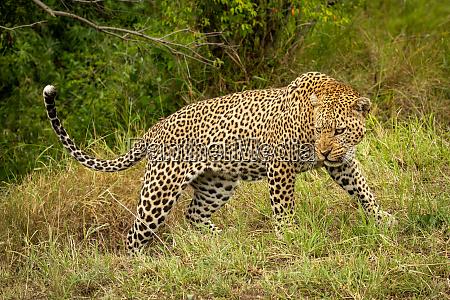 leopard, steht, knurren, mit, kopf, niedrig - 27209258