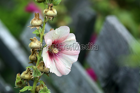stockrose alcea rosea in the farm