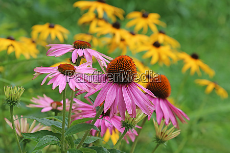 purple sun hat echinacea purpurea in