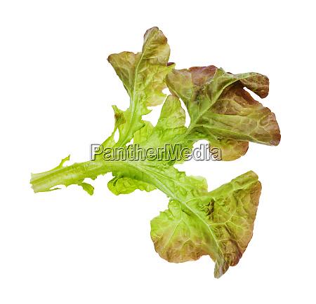 blatt eichenblattsalat isoliert auf weiss