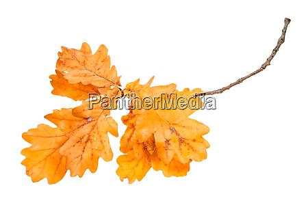 zweig mit orangeneichenblaettern im herbst isoliert