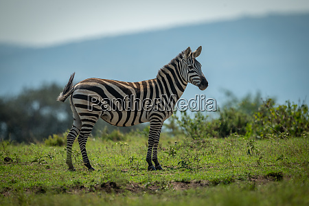 plains zebra stands on horizon watching