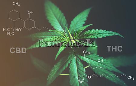 marihuanablaetter mit cbd thc chemische struktur