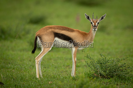 thomson gazelle stands in grass watching