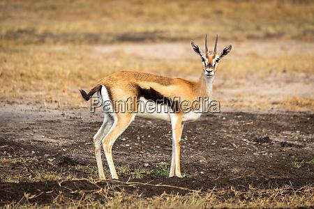 thomson, gazelle, steht, im, profil, und - 27261094
