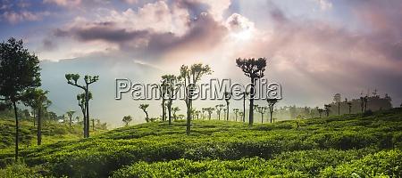 sunrise over tea plantations and mountains