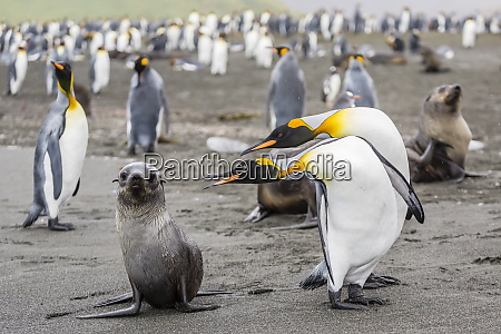 antarctic fur seal arctocephalus gazella pup