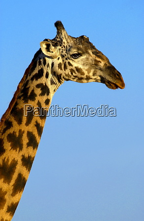 giraffe grumeti tansania