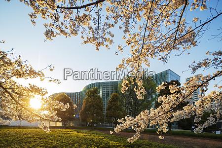 fruehling kirschblueten the national art center