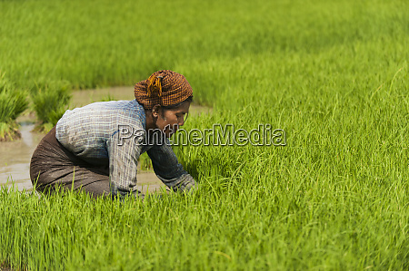 a woman near inle lake harvests