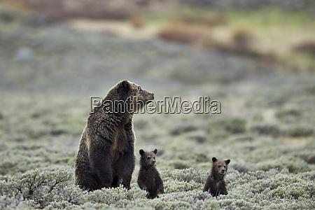 grizzly bear ursus arctos horribilis sow