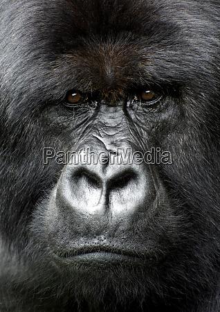 silverback gorilla sieht intensiv aus im
