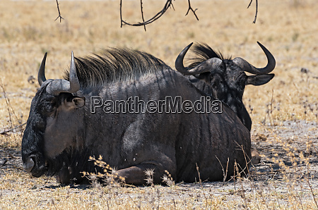 wildebeest in the shade of an