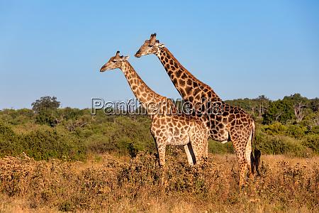 suedafrikanische giraffe paarung in chobe botswana