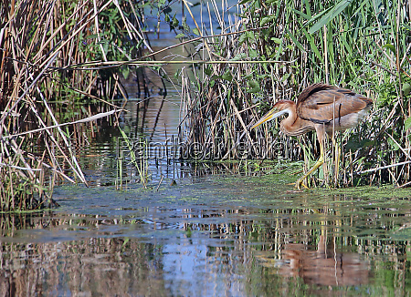 young purple heron ardea purpurea in