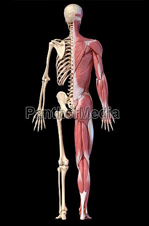 anatomie der menschlichen maennlichen muskel und