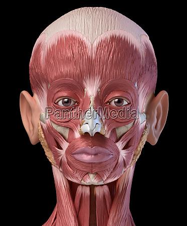 menschliche kopfmuskeln augen und nasenknorpel