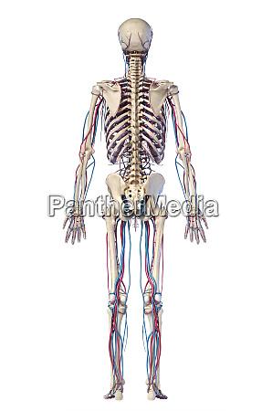 anatomie des menschlichen koerpers skelett mit