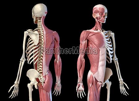 menschliche maennliche anatomie 34 figur muskel