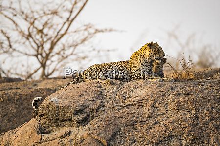 leopard panthera pardus lays on a