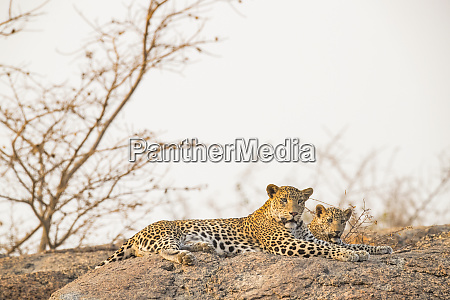 two leopards panthera pardus lay on