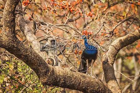 peacock pavo cristatus standing on a