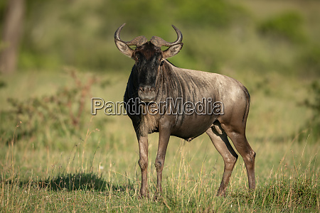 blue wildebeest stands in grass watching