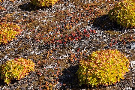 sharp wall pepper sedum acre